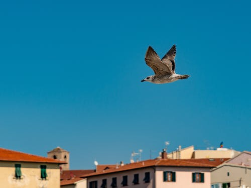 From below of common buzzard flying in blue sky above houses with red roofs