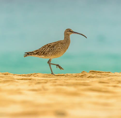 Numenius arquata with light brown feather and long thin beak walking on sand on daylight on blurred background