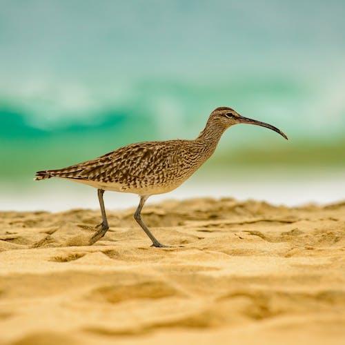 Bird with long beak having stroll on sandy beach