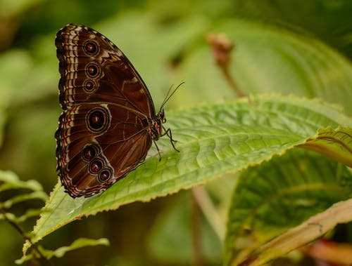 Closeup side view of giant blue morpho butterfly sitting on green leaf of tropical plant
