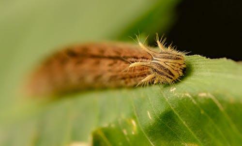 Closeup selective focus of rock grayling caterpillar crawling on green grass in woodland