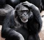 animal, ape, monkey