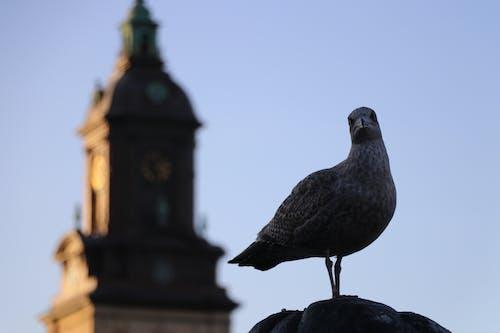 Free stock photo of sea bird, seagull