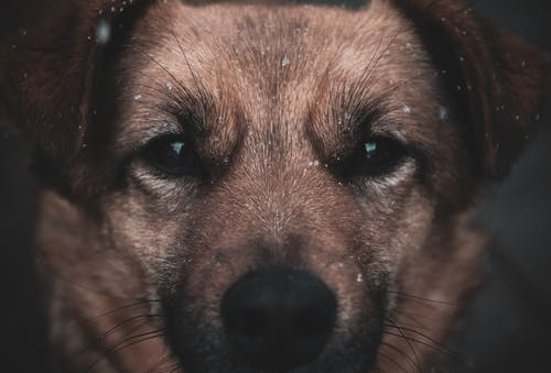 Closeup of adorable little brown dog with black eyes and snowflakes falling around