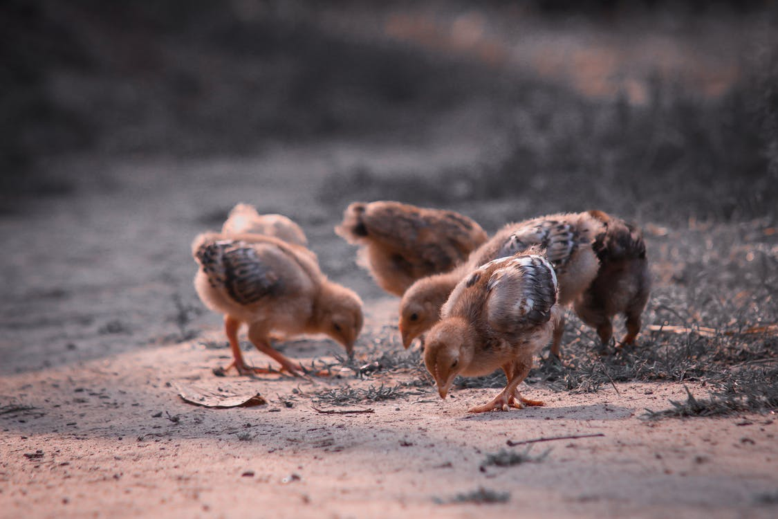 Flock of fluffy chicks with tiny wings looking for food on sandy surface covered with dry grass in countryside on sunny day