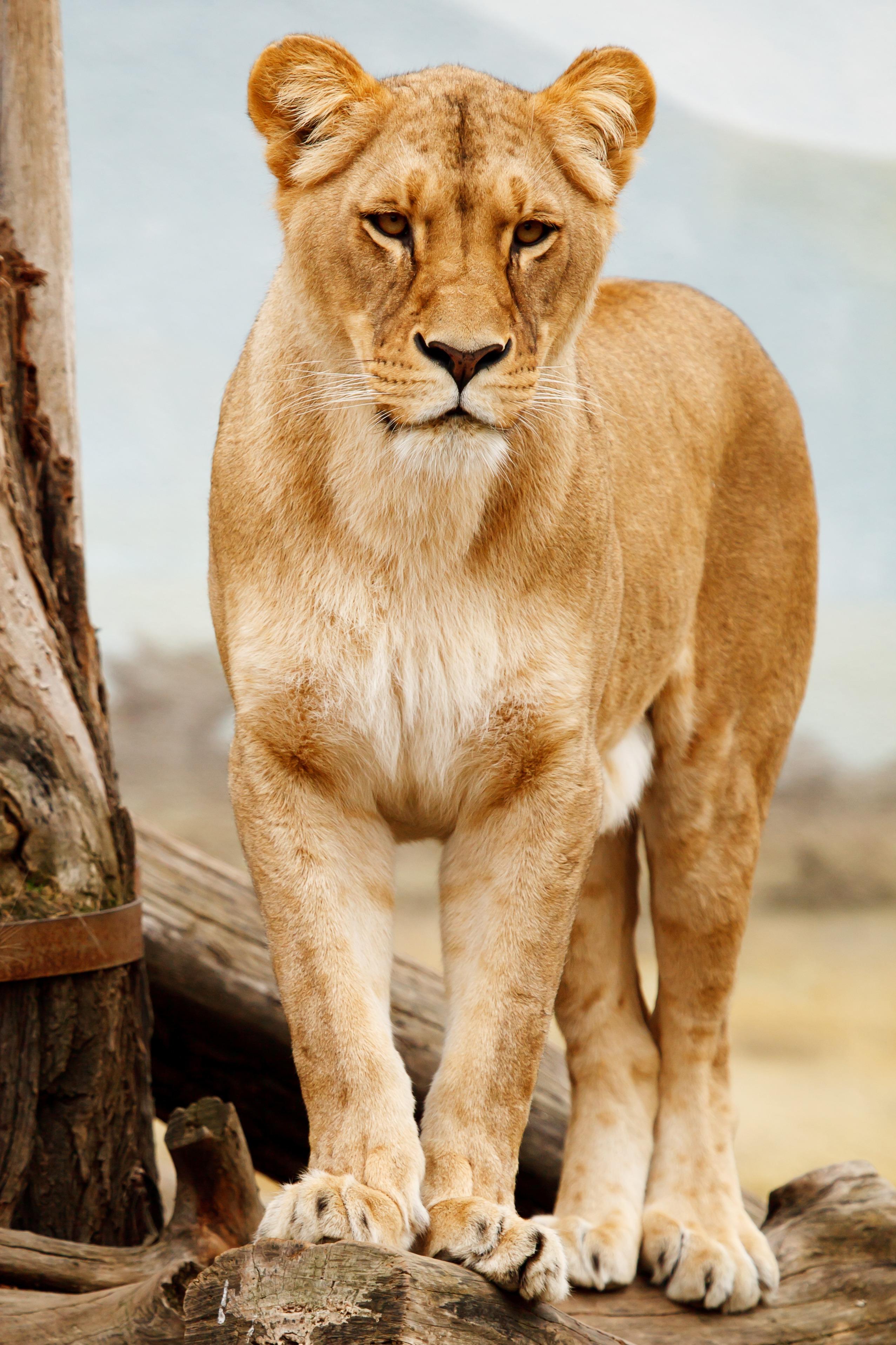 Free stock photo of animal, big, standing, fur