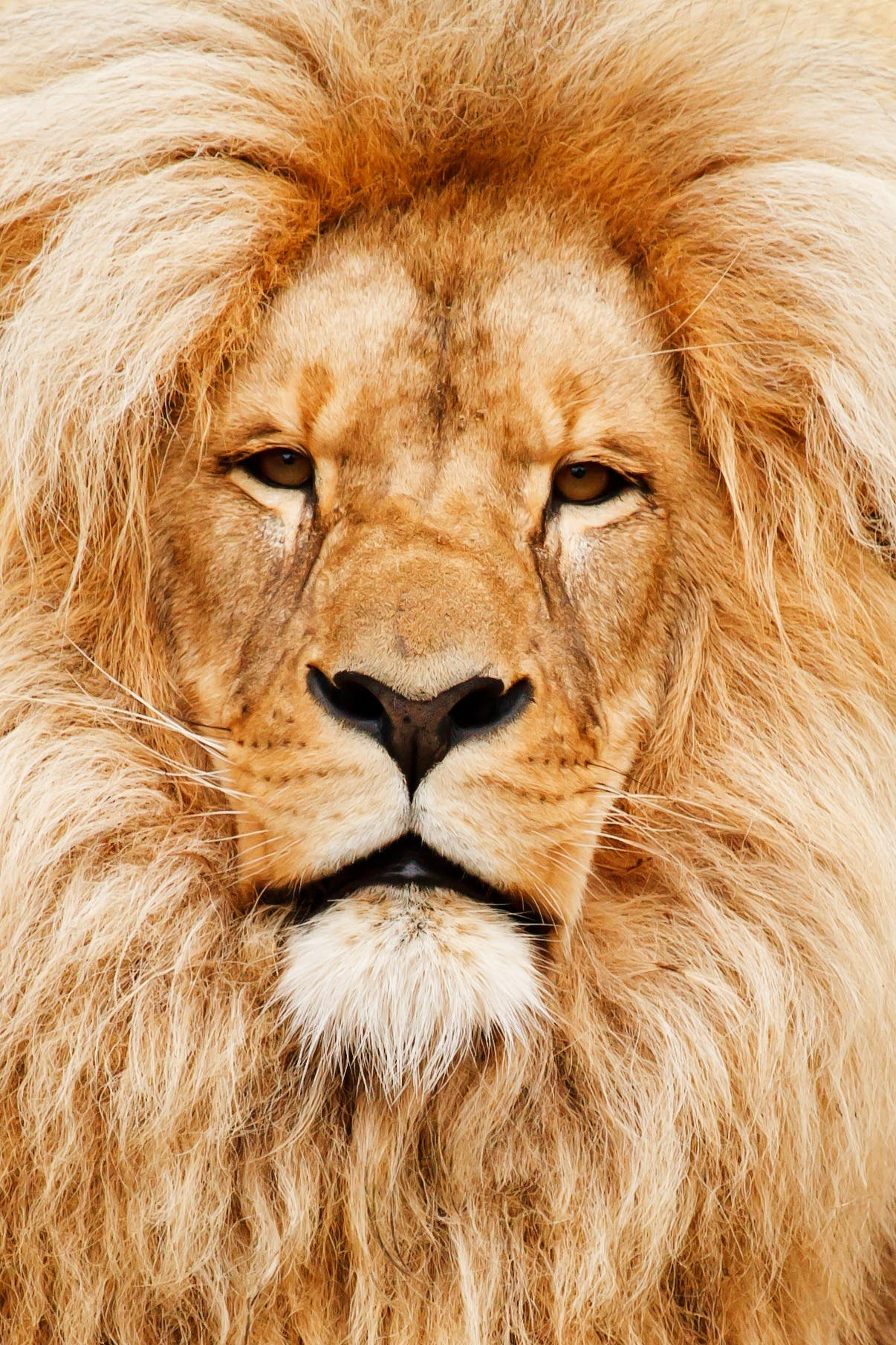 Close-up Photo of Brown Lion