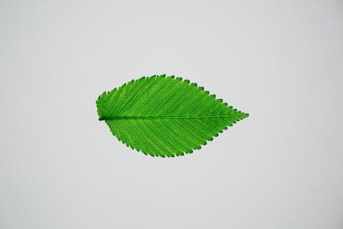 Bright green elm tree leaf