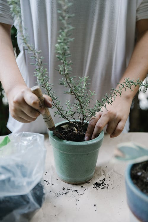 Faceless female in white tee shirt raking soil in flowerpot with growing green plant while standing at table