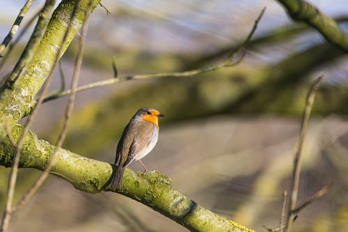 Free stock photo of einzelner vogel, rotkehlchen