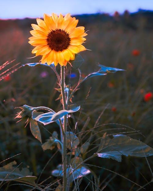 Lonely sunflower in rural field