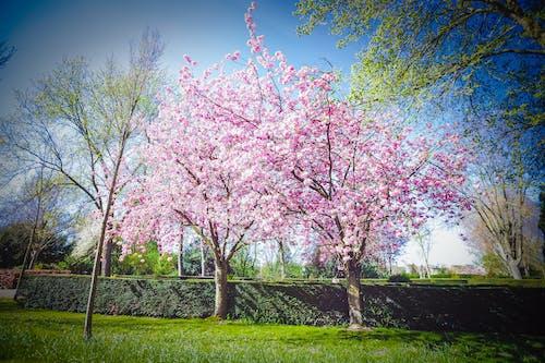 Free stock photo of 808gfx, blossoms, calm, cloud