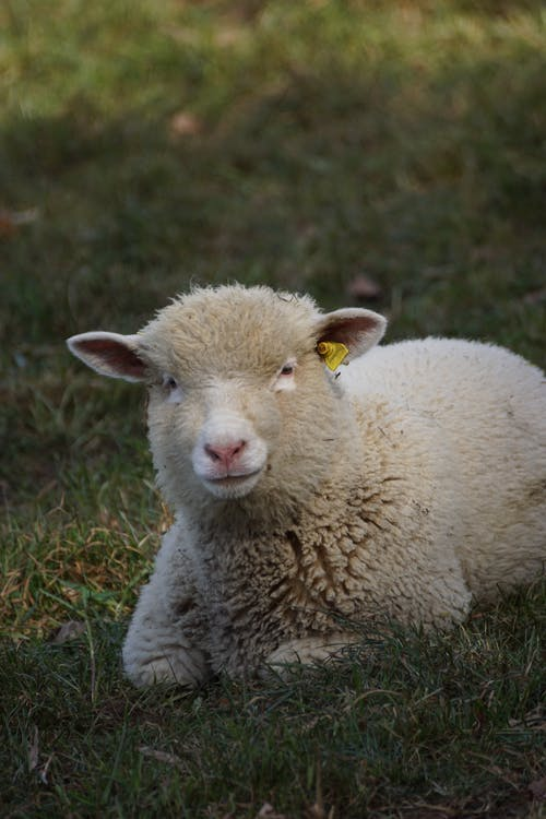 From above of adorable lamb with thick wool lying on green meadow and looking at camera in countryside in daylight