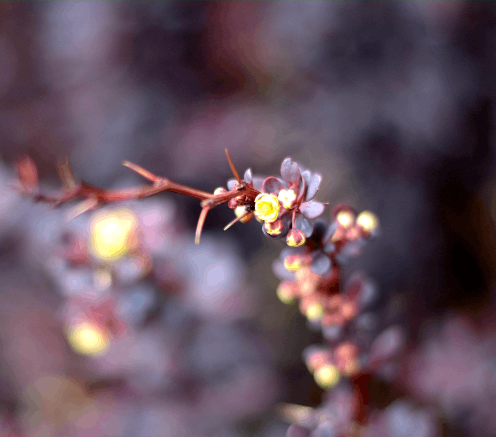 Free stock photo of light, red, dark, bush