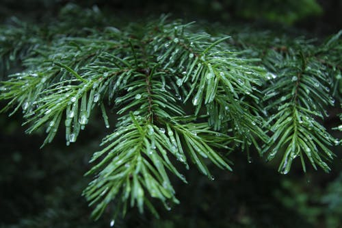 Free stock photo of pine branch