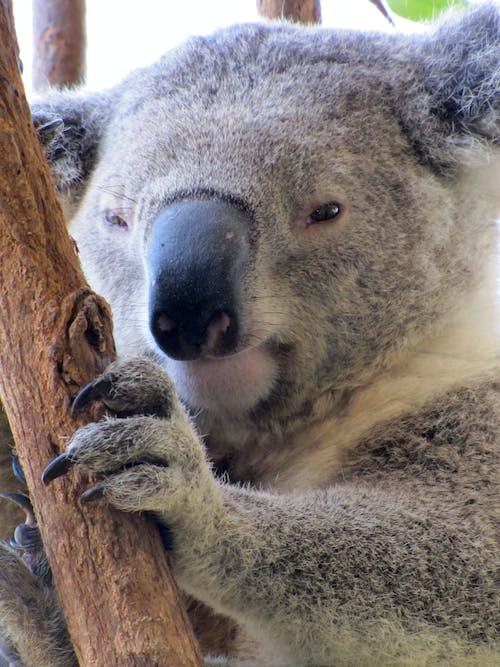 Free stock photo of koala bear