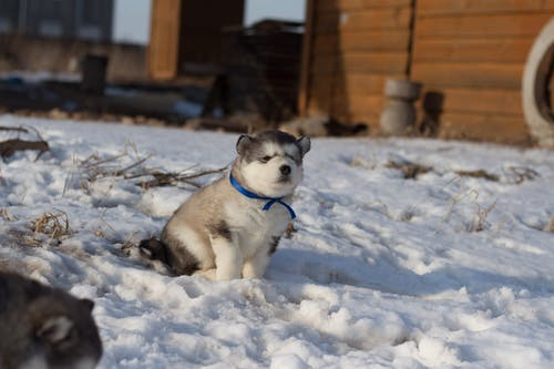 Little Husky resting on snow near countryside house in wintertime