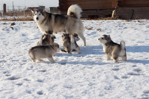 Adult Husky walking with puppies on snow in countryside