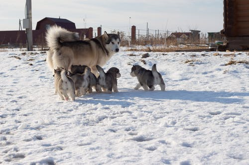 Husky strolling with puppies on snowy terrain in rural zone