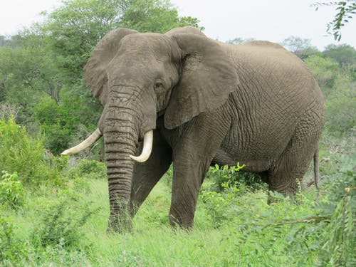 Calm gray elephant with pointed tusks and wrinkled trunk looking at camera while strolling on bright grass near growing trees under sky