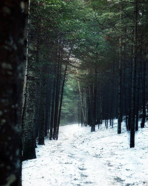 Free stock photo of fir tree, footpath, heavy snow