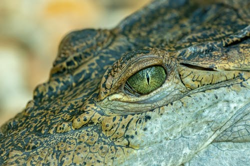 Eye of crocodile lying near blurred background
