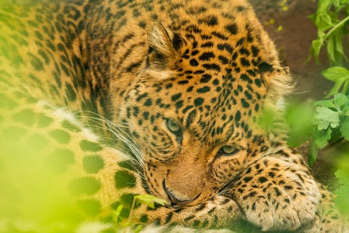 Wild leopard lying on ground near green plants in summer day and looking at camera