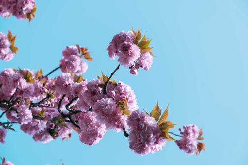 Delicate blooming cherry tree branch on sunny spring day