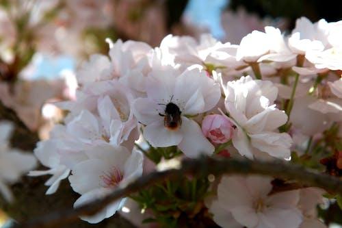 Free stock photo of abeille, arbre en fleurs, fleur de printemps