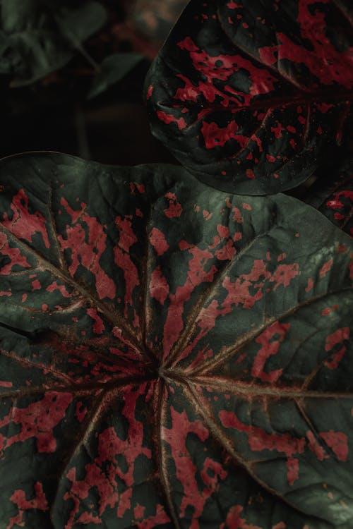 Δωρεάν στοκ φωτογραφιών με begonia rex, αιωνόβιος, ανάπτυξη