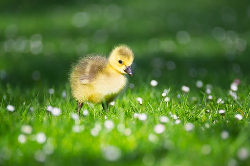 Selective Focus of Yellow Duckling