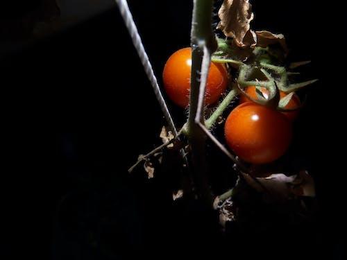 Free stock photo of cherry tomato, fresh vegetable, night