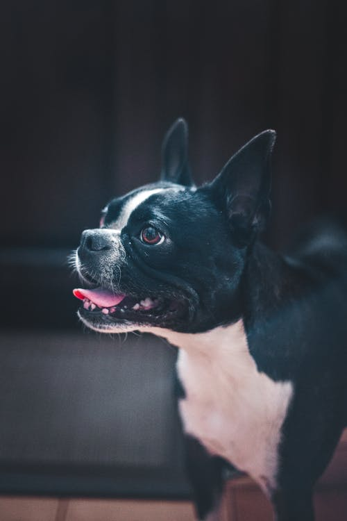 Funny Boston Terrier standing with mouth opened in room