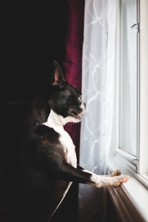 Curious Boston Terrier looking out window