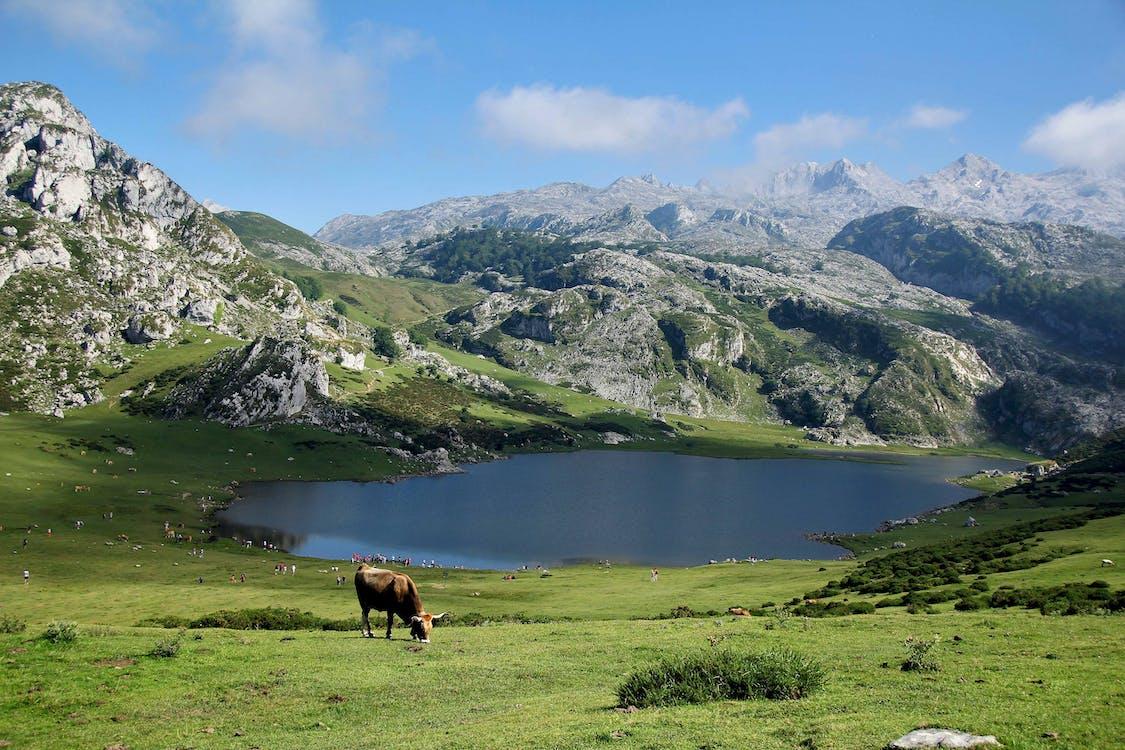 Brown Cow Eating Grass Near Lake