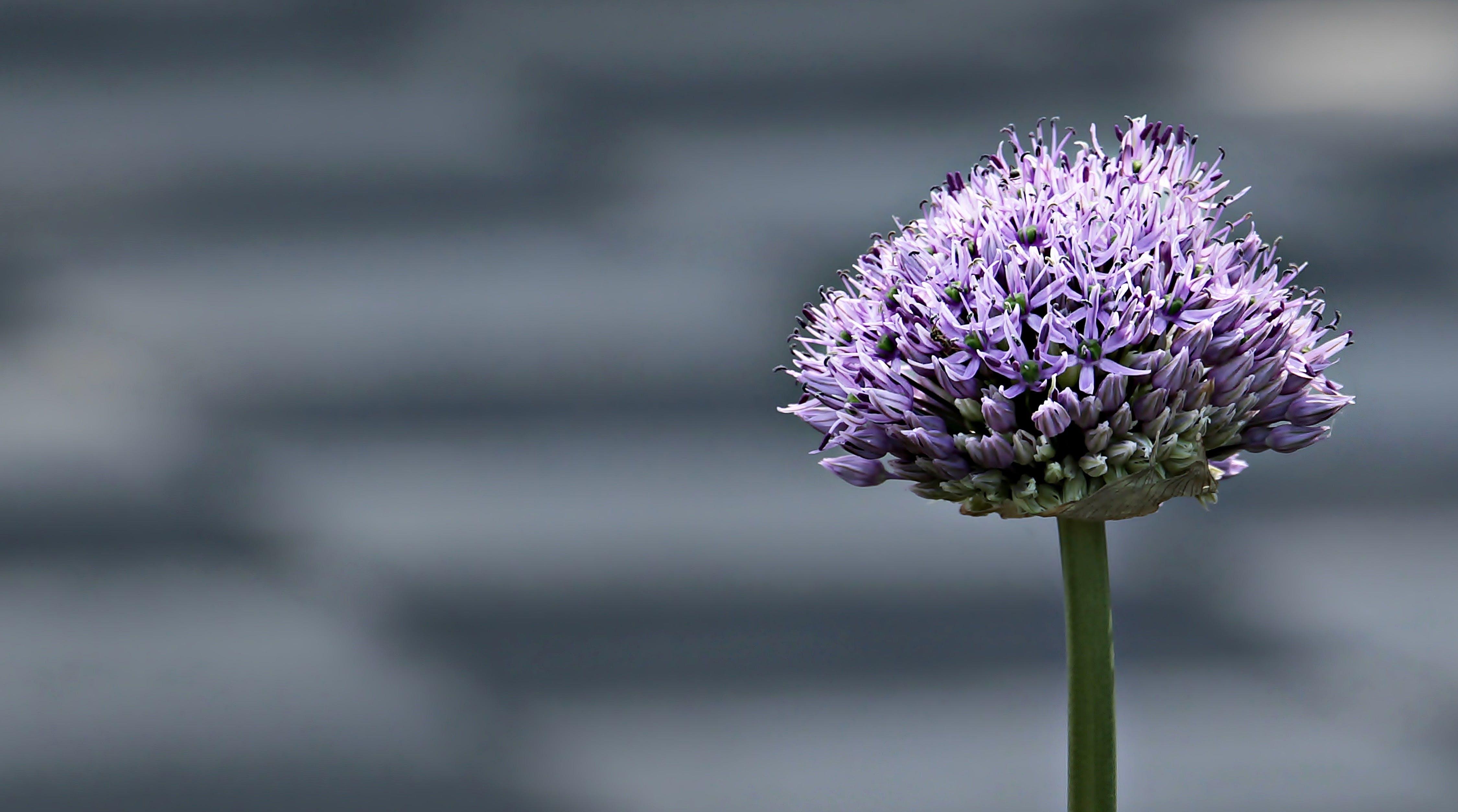 Gratis lagerfoto af blomst, close-up, flora, fokus