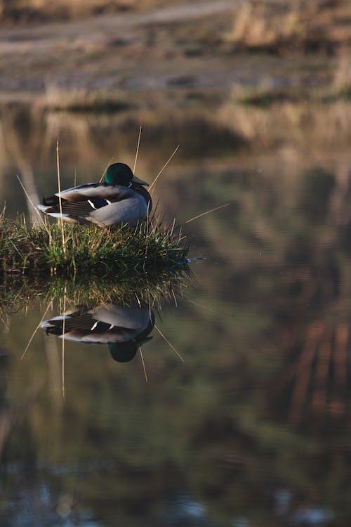 Free stock photo of duck, ducks, swamp, water