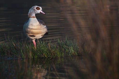 Free stock photo of bird, duck, ducks, swamp
