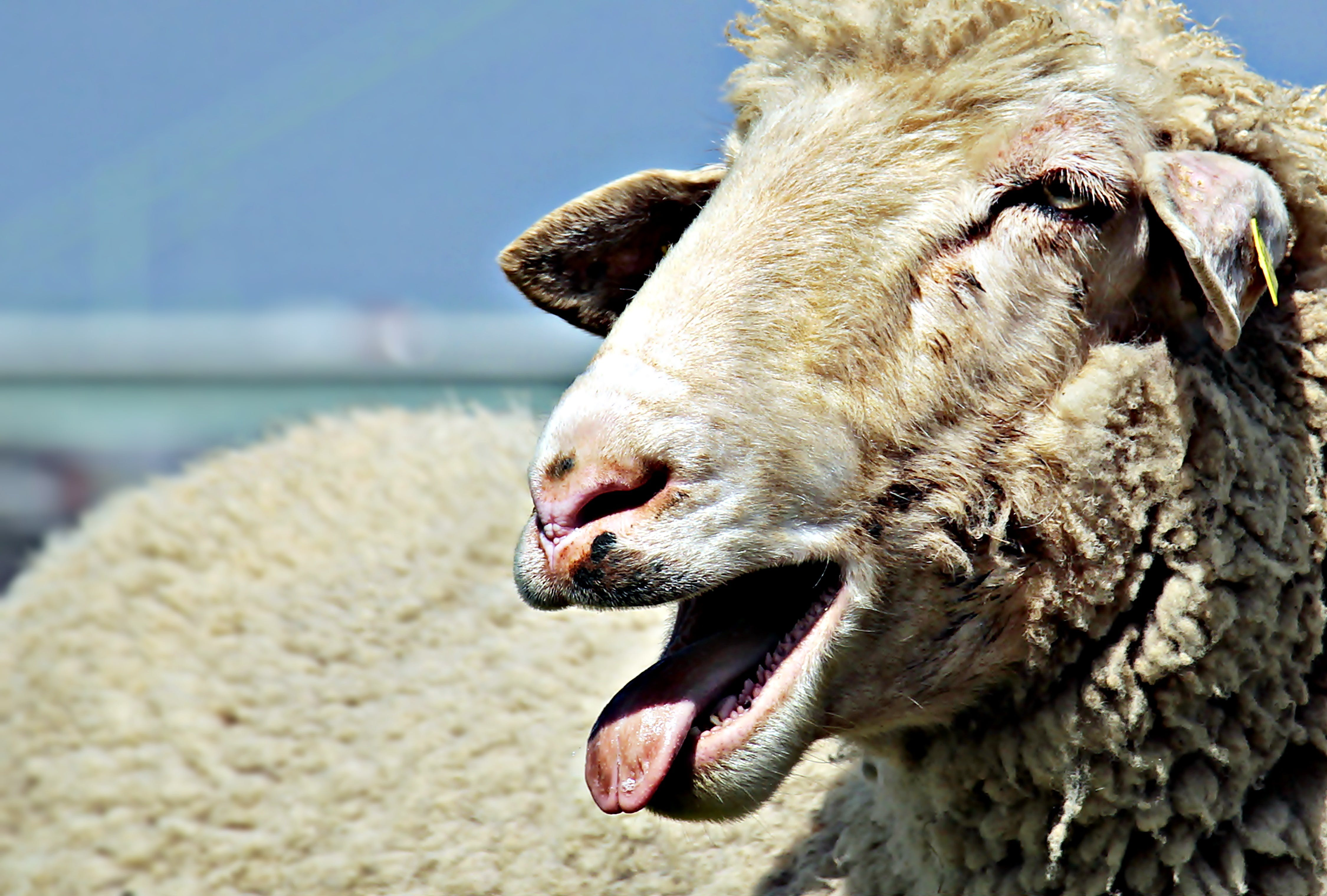 Sheep Opening Mouth