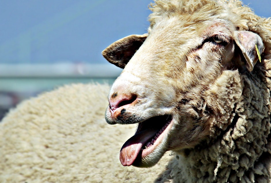 agriculture, animal, blur, sheep, Idaho