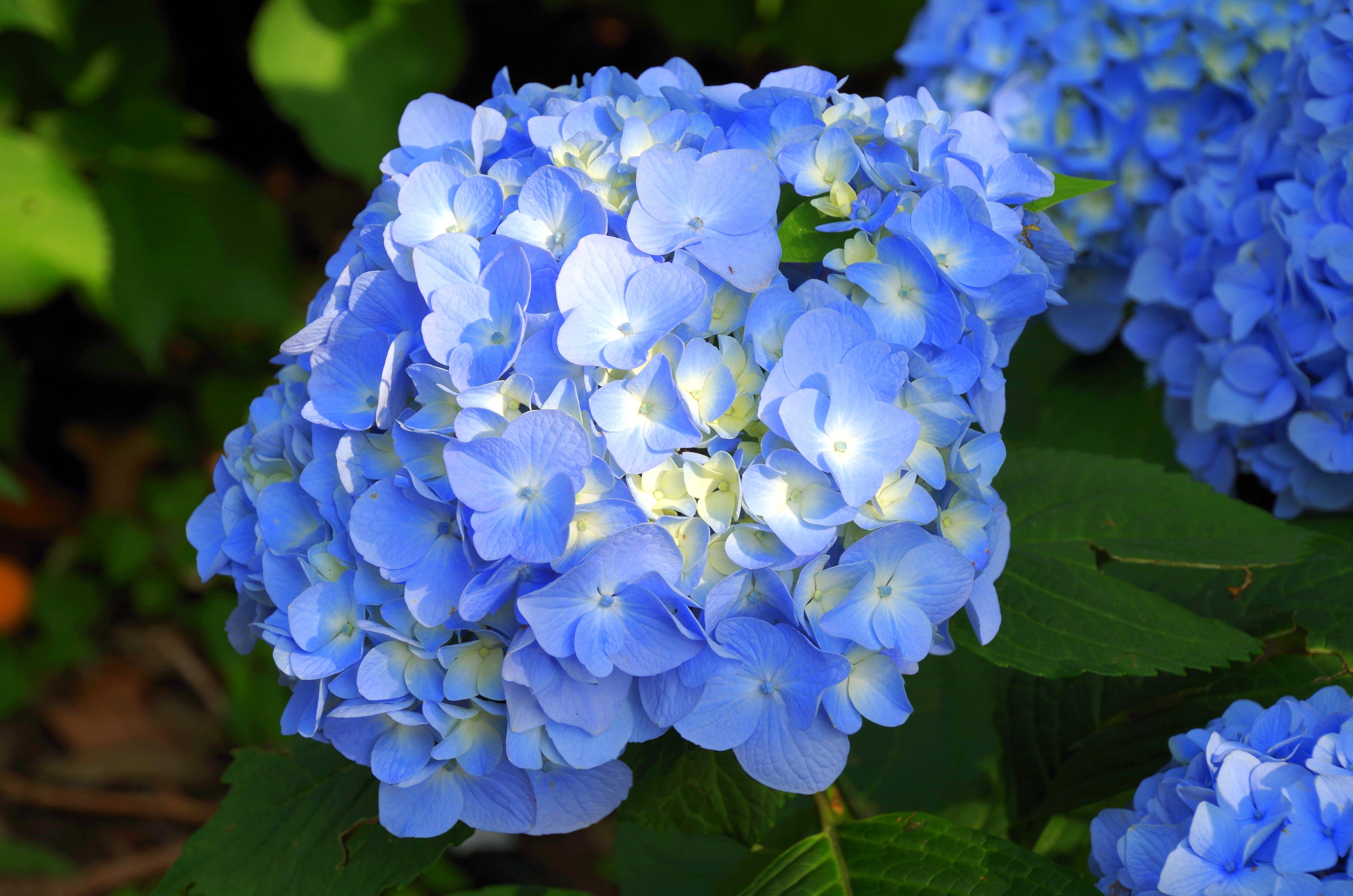 Free stock photo of blue, flower, hydrangea, japan