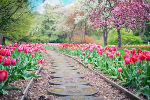 Pathway Between Pink Tulip Flowers