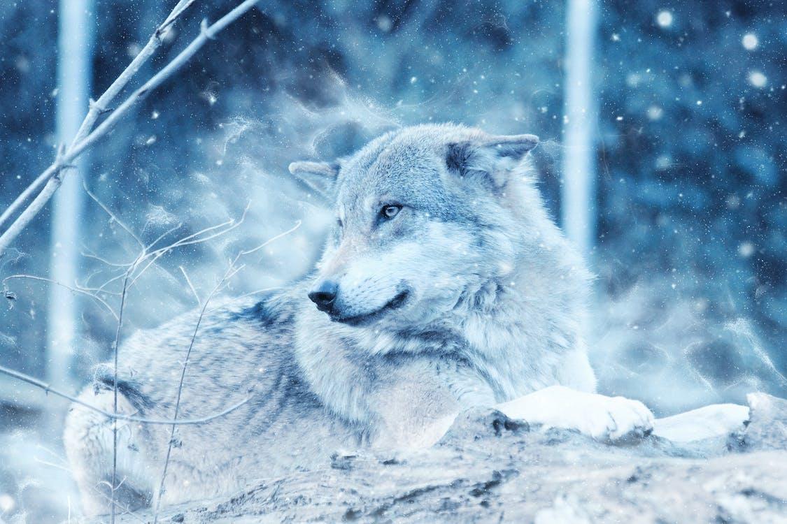 άγρια φύση, άγριος, Γκρι λύκος