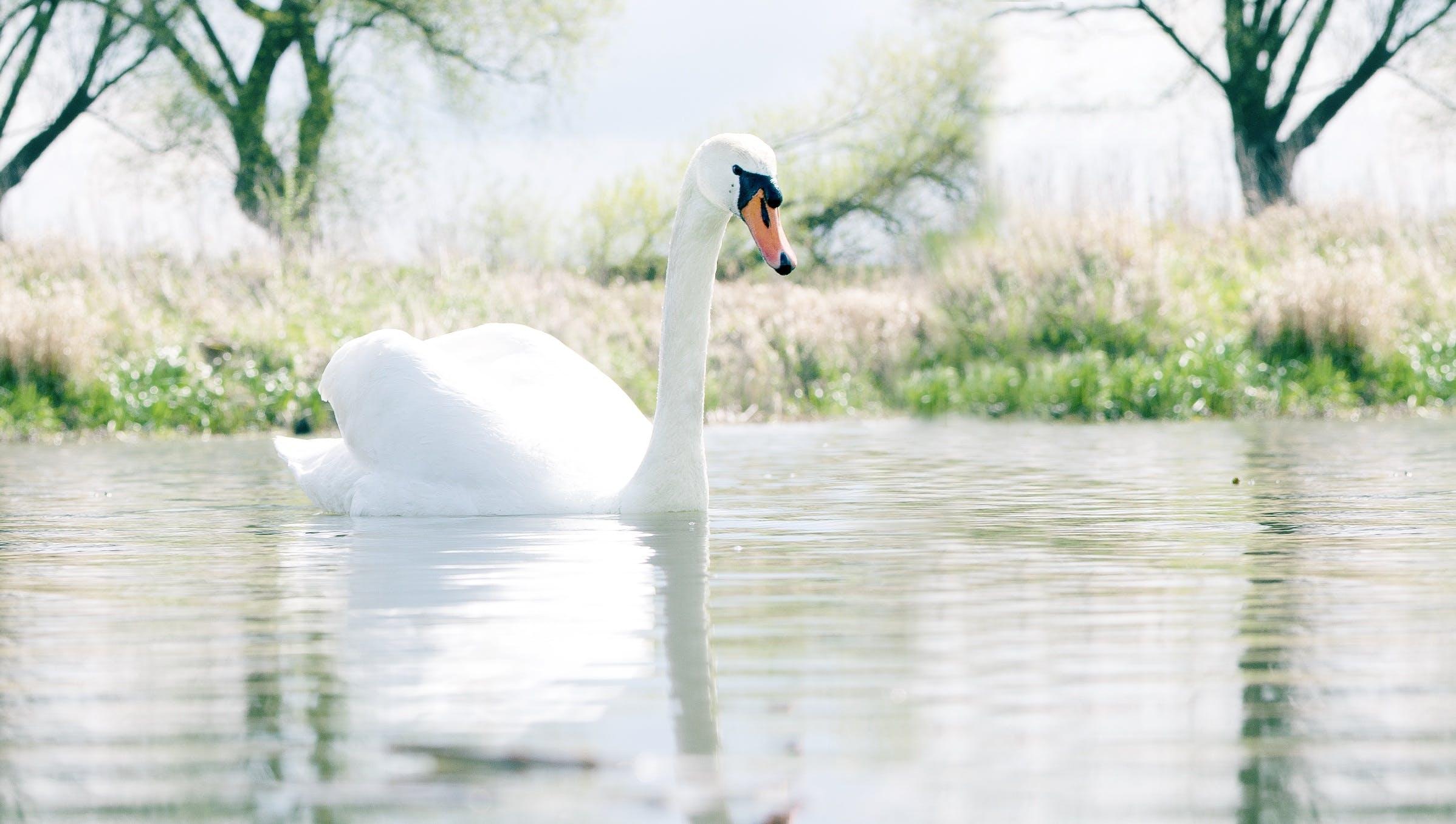 Swan in Body of Water