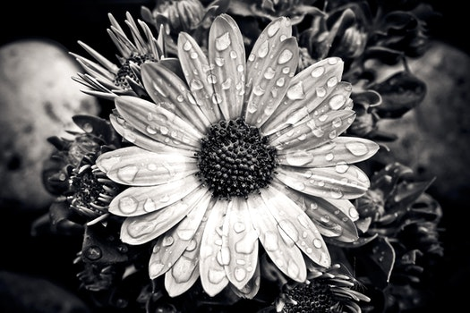 Free stock photo of black-and-white, water, garden, petals