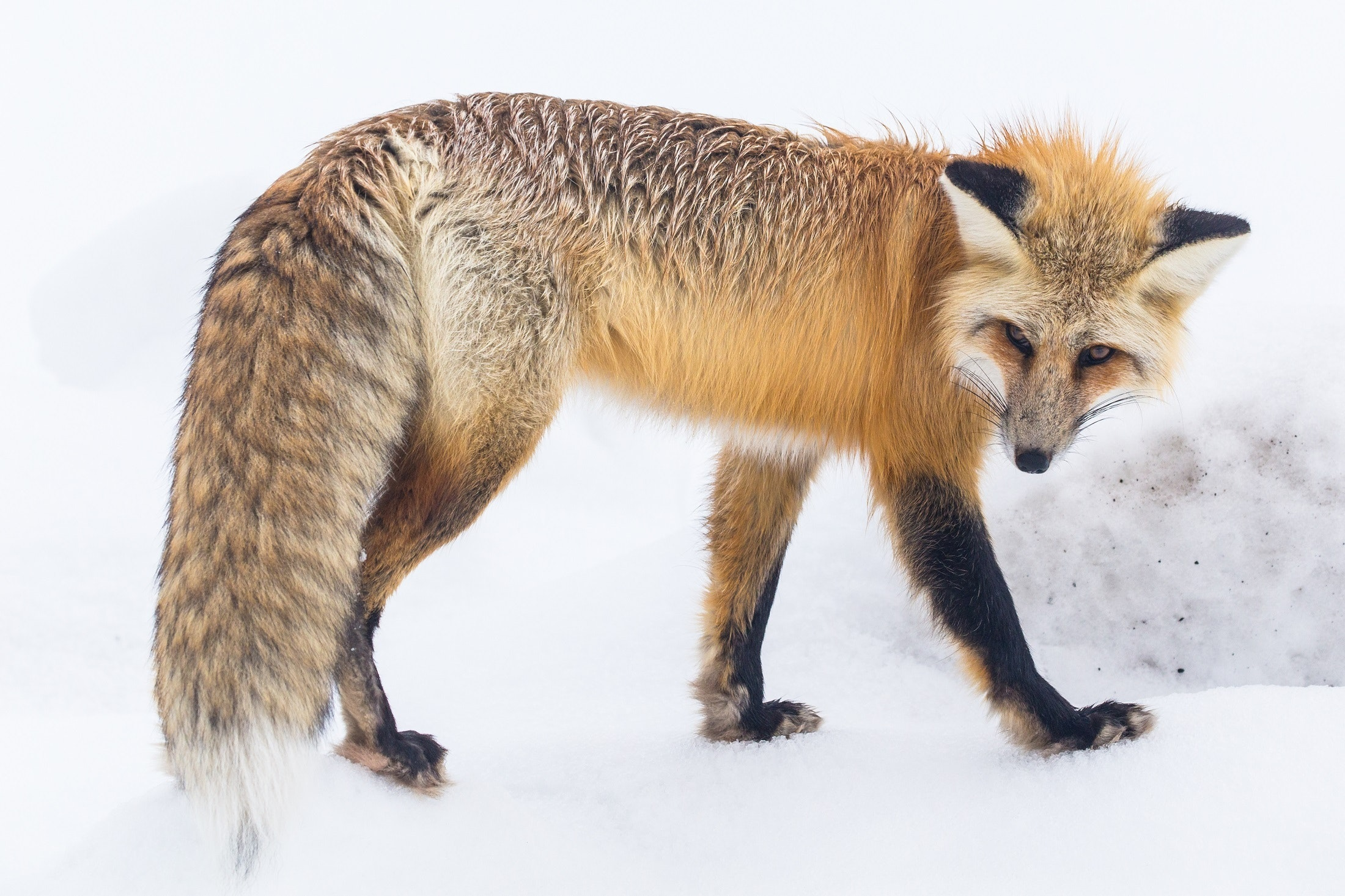 red fox software download