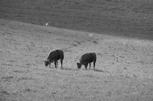 Photos gratuites de bovins, brouter, champs, élever