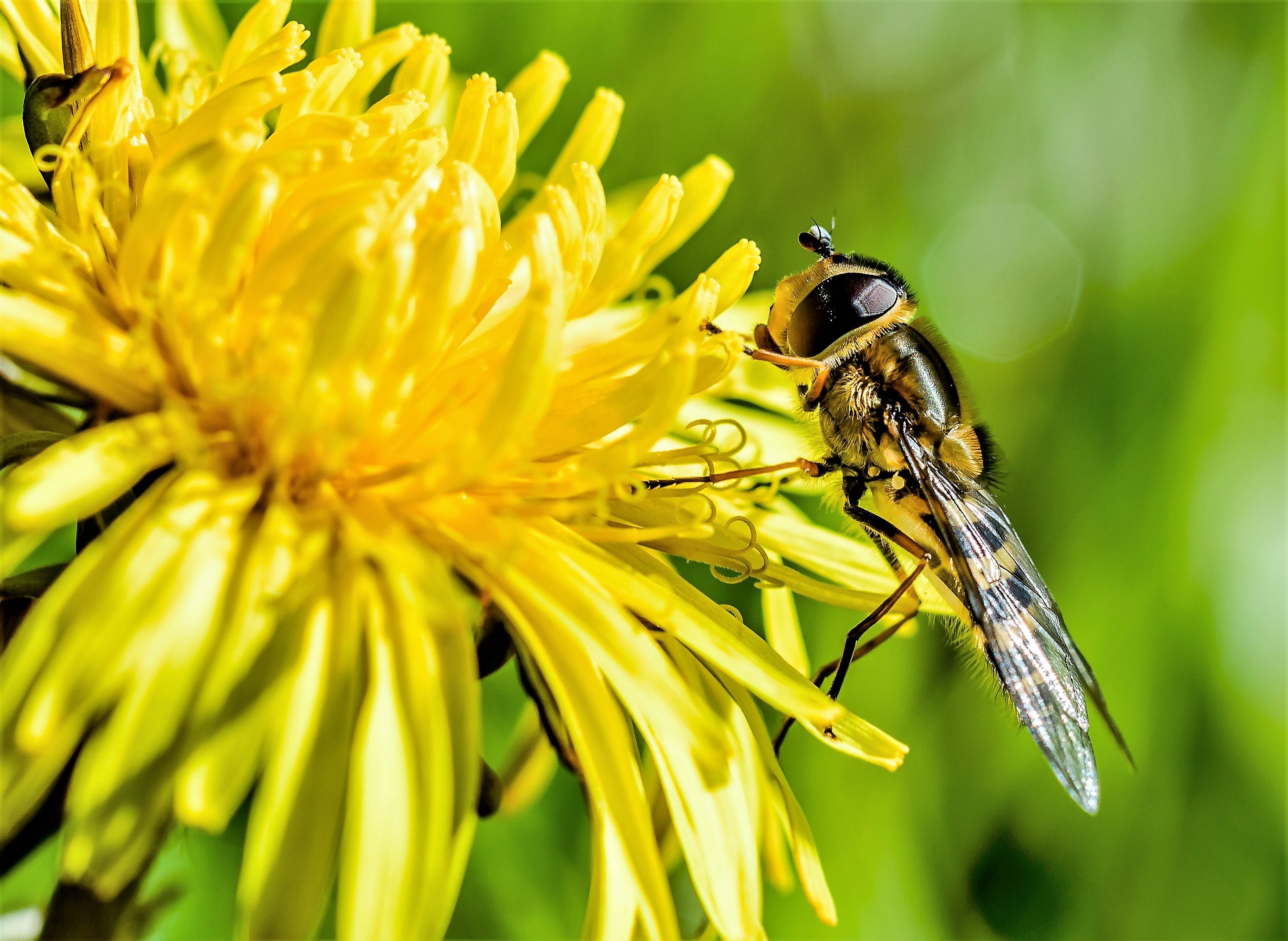 Brown and Yellow Bee on Petaled Flowers