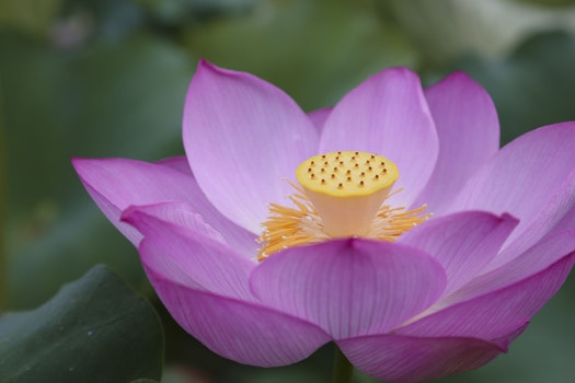 Free stock photo of natural, lotus, the scenery