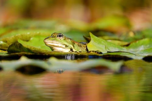 Ingyenes stockfotó állat, álló kép, béka, biotóp témában